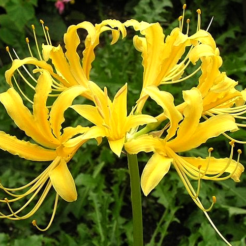 narine-lily-flower-bulbs-yellow-pack-of-20