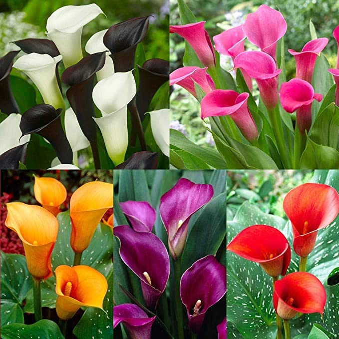 Calla Lily - Mix - Pack of 5 Bulbs