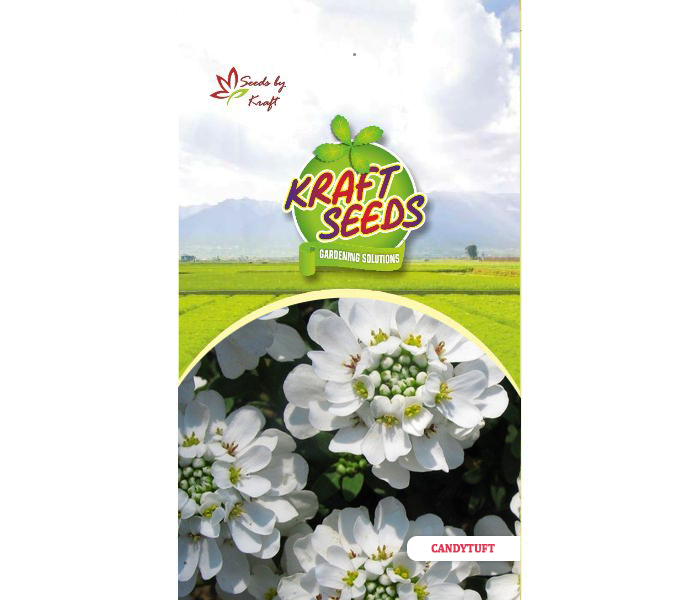 candytuft-white-flower-seeds-pack-for-home-and-balcony-gardening