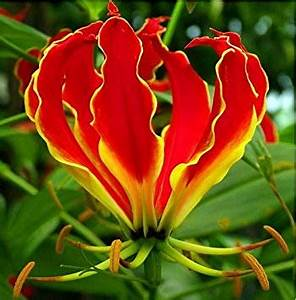 glorisia-flame-lily-flowers-exotic-summer-bloom-flower-bulb-fire-lilies-superb-set-of-10-mix