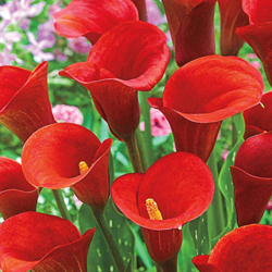 Calla Lily - Red - Pack of 5 Bulbs