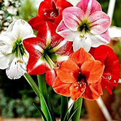 Amaryllis Lily Double White - Pack of 10