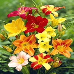 Day Lily - Mix -  Pack of 5