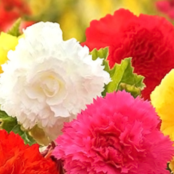 Begonia Flower Bulbs - Mix - Pack of 5