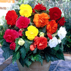 Begonia Flower Bulbs - Mix - Pack of 10