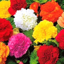 Begonia Flower Bulbs - Mix - Pack of 15