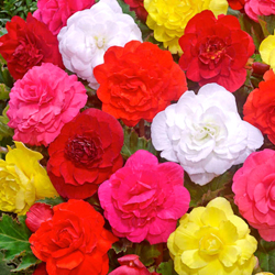 Begonia Flower Bulbs - Mix - Pack of 20