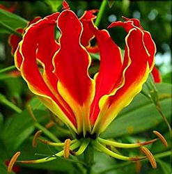 Glorisia Flame Lily Flowers Exotic Summer Bloom Flower Bulb Fire Lilies Superb (set of 4) Mix