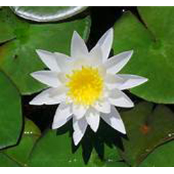 Water Lily, Lotus White (3 Bulbs)