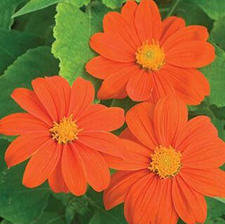 TITHONIA MIX Flower Seeds Pack for Home and Balcony Gardening