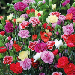 CARNATION Flower Seeds Pack for Home and Balcony Gardening
