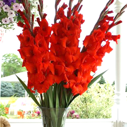 Gladiolus Flower Bulbs - Mix - Pack of 5