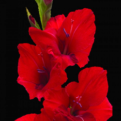 Gladiolus Flower Bulbs - Mix - Pack of 15